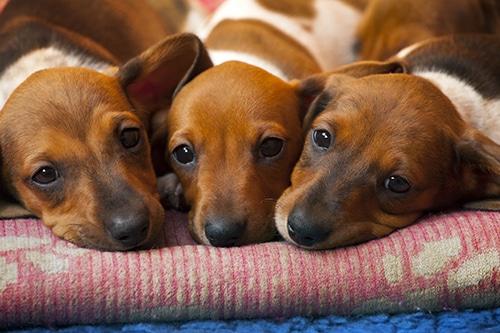 dachshund rescues