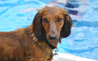 Water Safety Tips For Dachshunds