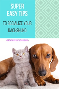how to socialize your dachshund