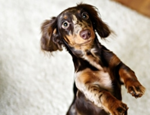 15 Hilarious Things Only Dachshund Owners Understand