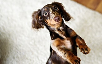 things only dachshund owners understand