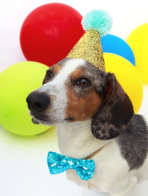 dachshund's birthday