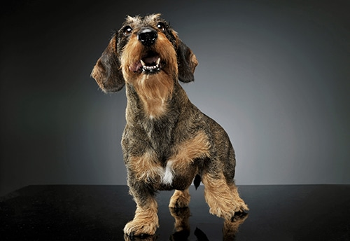 wire-haired Dachshund lifting his front leg