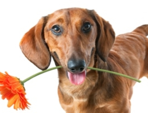 Is Your Dachshund's Stinky Breath A Sign of Illness?