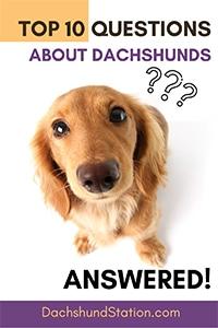 dachshund questions pin