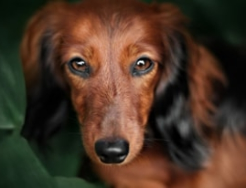 10 Most Googled Questions About Dachshunds, Answered