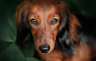 Questions About Dachshunds