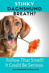 dachshund stinky breath pin