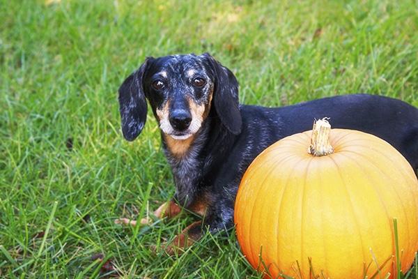 Dachshunds Should Eat Pumpkin