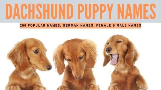 Best Dachshund Names
