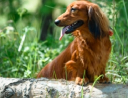 Take Your Dachshund Hiking: 10 Safety Tips To Keep It Fun