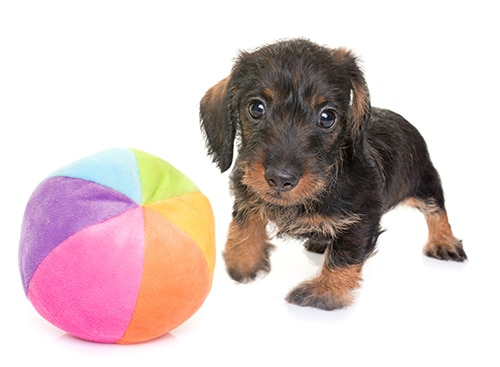 Find The Perfect Toy For Your Dachshund