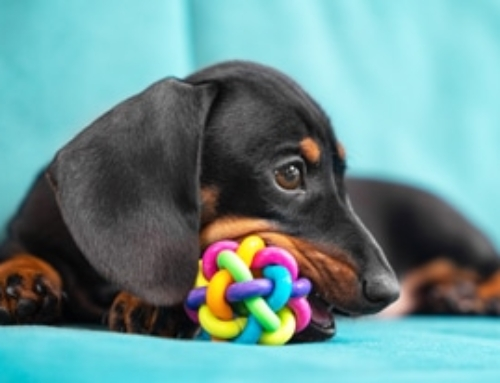 7 Tips To Help You Find The Perfect Toy For A Dachshund