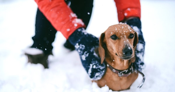 5 Ways To Protect Your Dachshund in Cold Weather