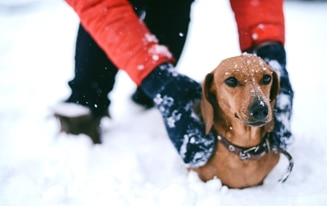 Ways To Protect Your Dachshund In Cold Weather