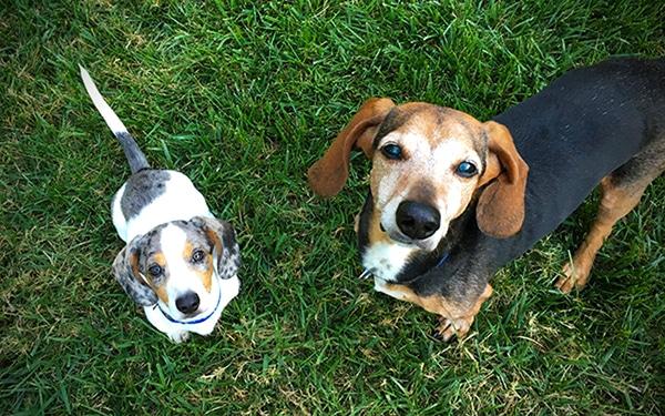 young dachshund puppy and older dachshund