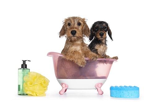 give a dachshund a bath